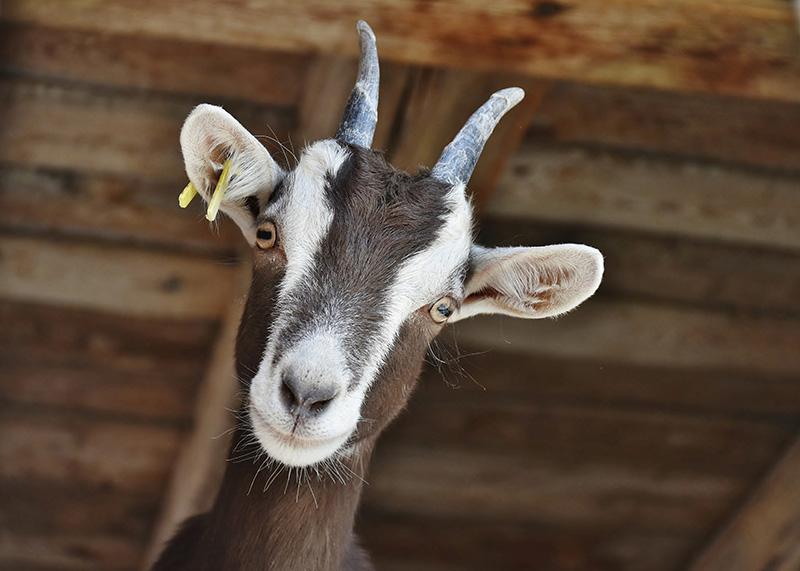 chèvre de la ferme