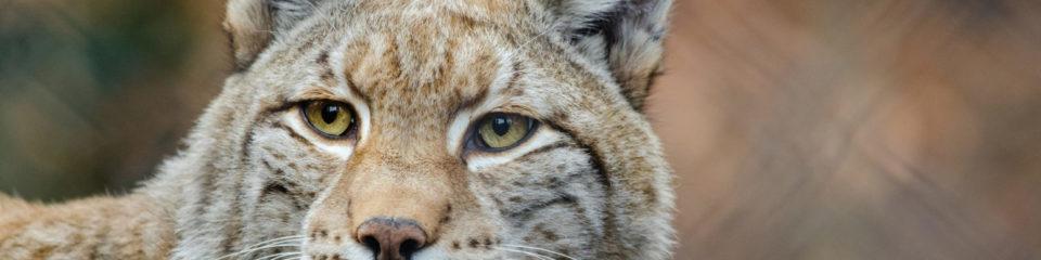 Découverte des Lynx au Parc Challandes