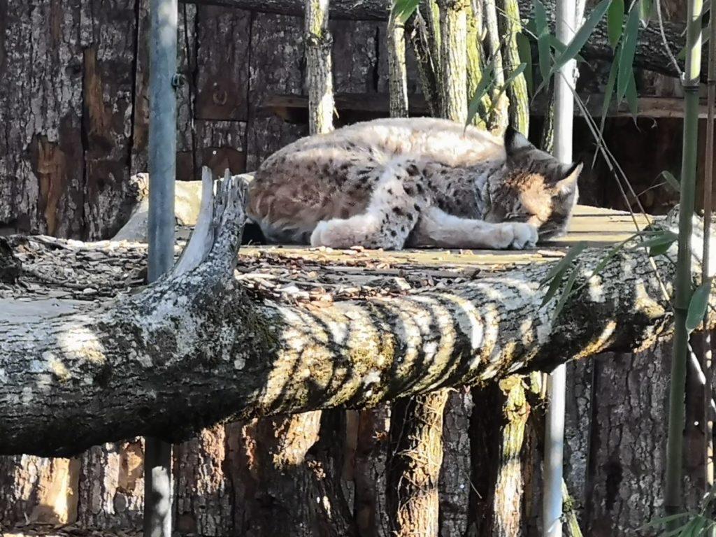 Lynx au parc Challandes