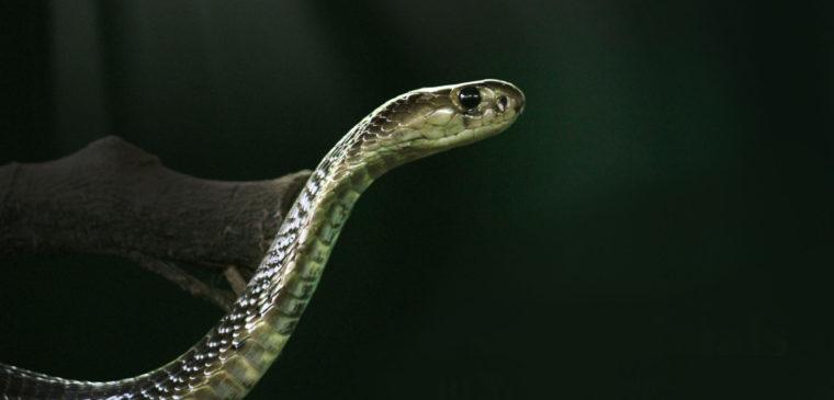 cobra au vivarium de meyrin genève