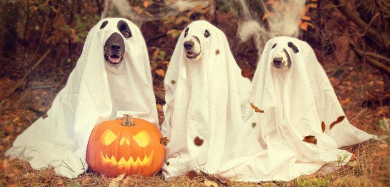 chiens déguisés pour halloween