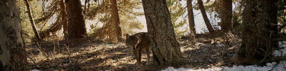 cinéma La marche des loups genève