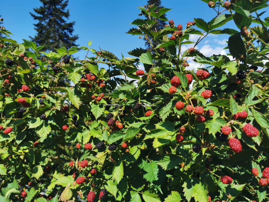 fruits rouges à la ferme genève